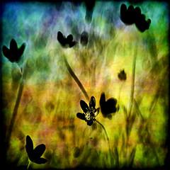 technicolor misfit (1crzqbn) Tags: flowers sunlight color nature square shadows buttercup bokeh textures 7d hss 1crzqbn sliderssunday brushesandpixels technicolormisfit
