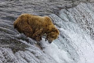 Alaska Brown Bear.  Just Missed