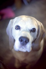 Grin (analog 93) Tags: dog film beagle analog canonftb