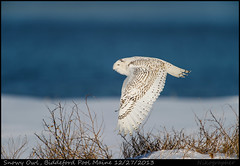 Maine Snowy (Nikographer [Jon]) Tags: blue winter 6 snow flying inflight december maine dec bubo snowyowl d4 biddefordpool buboscandiacus 2013 scandiacus 20131227d4111981