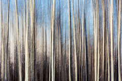 Labyrinthine (www.toddklassy.com) Tags: trees light abstract motion blur color colour art nature beautiful lines vertical wall composition forest print creativity outside outdoors gold design movement woods energy montana pattern mt crossing message artistic grove action spears contemporary fineart surreal style blurred nobody poetic line clean havre bark ethereal backgrounds backdrop copyspace woven aspen dreamlike sublime ghostly angular technique mothernature airy earthtones linear blurredmotion designelement colorimage beautyinnature montanalandscape rockyboyindianreservation
