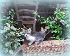 Sweet little kittens (Susannaphotographer) Tags: summer italy cats nature animals kitten europe italia estate south gatos gato latina gatto animali sud gatito chaton terracina gattini