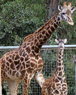 Giraffes -