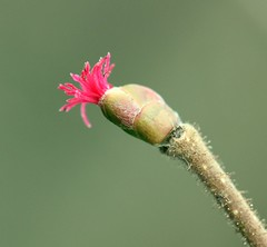 Pollen Catcher! (RiverCrouchWalker) Tags: winter flower female star january brush hazel styles essex tuft seaurchin colchesterzoo 2014 signofspring corylusavellana pollencatcher