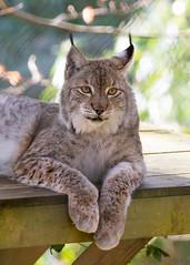 Eurasian Lynx (Stavros043) Tags: england cats unitedkingdom wildlife bigcat wildlifepark flickrbigcats
