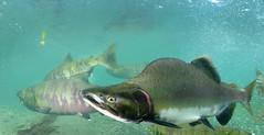 Freak Monster (Fish as art) Tags: fishing britishcolumbia salmon spawning biodiversity salmonfishing saumon fisheries pinksalmon salmonrivers britishcolumbiasalmon salmonfisheries underwaterphotographypaulvecsei