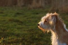Karlie ♥ (KromiKarlie) Tags: portrait dog sun grass outside soft fuzzy sweet great fluffy away karlie hund thinking dreams far kromfohrländer