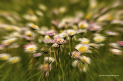 Daisy Zoom (Glyn Owen Photography & Image-Art) Tags: uk macro nature up field grass close cheshire zoom down daisy effect paddock laying