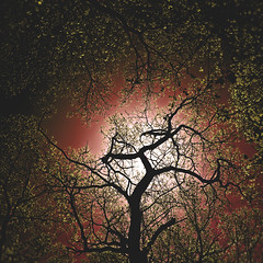 100 thirty one | 365 III {explore} (Randomographer) Tags: sky white plant tree up leaves oak quercus looking explore serrated margins project365 lepidobalanus lobate leucobalanus rslphotography rslphotographics