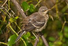 Juvie mocker (Lindell Dillon) Tags: oklahoma nature birds northernmockingbird tamron mockingbird oklahomanaturepics lindelldillon