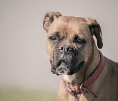 Boxer (Mark Hobbs@Chepstow) Tags: cameraphone camera dog wales train photography nikon ship d750 fullframe fx chepstow monmouthshire hgv d7100 markhobbs
