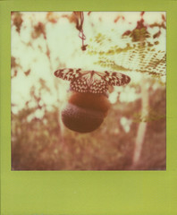 Butterfly (charlimero) Tags: color closeup analog butterfly polaroid philippines bohol slr680 roidweek colorframe theimpossibleproject color600 colorprotection roidweek2014