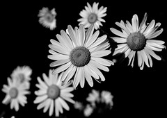 Absence Of Colour (Smirfman) Tags: flowers dark mono blackwhite flowerhead absenceofcolour
