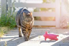 Harry - Evening Walk (No_Water) Tags: cat tiger harry explore