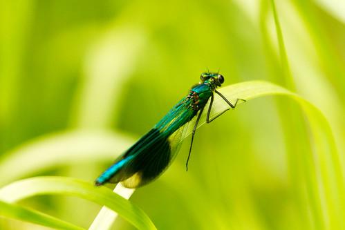 Banded Damselfly (Calopteryx Splendens)