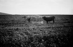 20120916sr2001.jpg (SaschaRheker) Tags: germany bayern kuh rind landwirtschaft wiese sw deu khe acker kalb rinder rindvieh rindfleisch nutztiere alzenau freilandhaltung viehaltung michwirtschaft