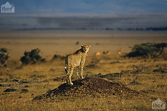 Ghepardo, Acinonyx jubatus, Cheetah (paolo.gislimberti) Tags: kenya felini felines savannah grassland mammals plain masaimara pianura savana prateria carnivori mammiferi predatori plunderers africanlandscapes africanparks paesaggiafricani flesheatinganimals parchiafricani