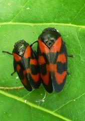 Cte  cte (soleil bleu) Tags: insecte feuille rougeetnoir