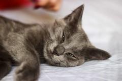 Totoro (Ktaana) Tags: cat canon eos candid gato russian eosrebel eosdigital ef50mmf18 canon600d ktaana canont3i photographersontumblr