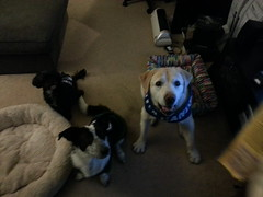 Hockey Dogs (missjessicab) Tags: dogs hockey olivia 1750 sitka canucks maxxie