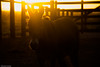 af1407_9876 (Adriana Füchter ... thank you for 5 Million Views) Tags: farm fazenda friese paarden fries paard silhouette horses horse sunset galope snogeholms slott friesche friesische pferd pferde pferden ameland cheval chevaux caballo equine equines professionalequineimages cavalos cavalo equino sweetface country side rural state natures finest impressed beauty mywinners brazil brasil burro jumento animals fauna animal