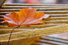 Ce qu'il reste de l'automne (Joanne Levesque) Tags: explore20161114 automne fall autumn feuille érable mapleleaf closeup montreal nikond90