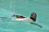 Humboldt Penguin 4