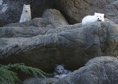 and now there are three (ucumari photography) Tags: ucumariphotography vulpeslagopus arctic fox animal mammal north carolina nc zoo arcticfox october 2016 dsc5964 specanimal