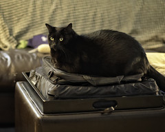 Lenny on Laptop Case (lennycarl08) Tags: lenny lc lennyandcarl cat cats blackcats blackcat canon5dmarkiv 5d4