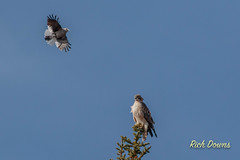 Clark's Nutcracker and Red-tailed Hawk (rich_downs) Tags: clarks nutcracker echo lake park colorado redtailed hawk
