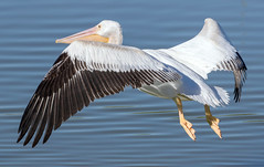 American White Pelican (Ed Sivon) Tags: american america canon nature lasvegas water wildlife wild western white southwest sun clarkcounty clark black henderson nevada nevadadesert preserve