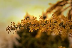 Wattle we do next... (Kevin_Jeffries) Tags: 50mm nikon d7100 nikkor wattle flower nature yellow natura