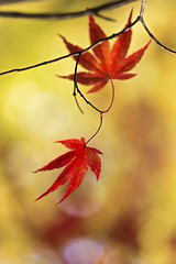 The Mirror of Life (Synapped) Tags: second leaf red leaves vertical mirror fall autumn japanese maple twig