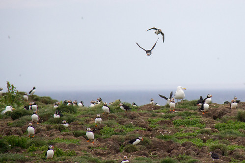 Puffins at Elliston 1