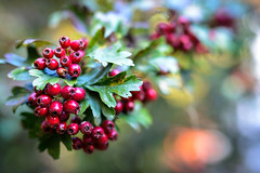 Weissdornfrchte (alopecosa) Tags: bokeh freiburg frucht herbst pflanze vauban weissdorn