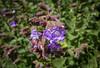 Neelakurinji flowers (mageshb) Tags: virajpet thadiyandamol coorg neelakurinji