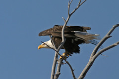 Waterton Lakes National P - Weikopfseeadlerark (astroaxel) Tags: kanada alberta waterton lakes national park weiskopfseeadler adler seeadler