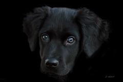 One of Freya's puppies  (8 weeks later) (K.Verhulst) Tags: stabij hond dog pet huisdier friesestabij pup puppy stabyhoun freya manumazal kodi
