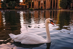 Swan in the Golden Hour (Geoff Livingston) Tags: swan lake palace fine arts pillar serenity