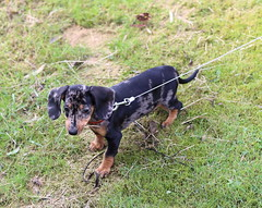 Jetje first time walking on grass (arina23111963) Tags: dachshund dachsie doxie bassotto gravhund dapple teckel teckels sausagedog dog badgerdog ダックスフント tax תחש bassê είδοσ γερμανικού κυνηγετικού σκύλου taks tacskó такси 닥스 훈트 jazavičar