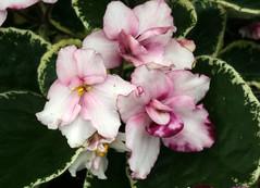 21-IMG_4752 (hemingwayfoto) Tags: berggartenhannover blhen blte blume flora floristik natur topfpflanze usambara usambaraveilchenpowwow veilchen zierpflanze zuchtform