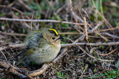 Goldcrest -Explored (cradenborg) Tags: c cceradenborg birdwatch birdwatcher goldcrest goudhaan goudhanen myexplored nature openbaar outdoor passeriformes public regulidae regulusregulus websitenieuw wildlife zangvogels ©ceradenborg