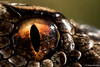 (bortozz) Tags: eye vipera berus marasso macro canon7d2 canonmp65mm sauron lagorai mountains nature snake adder
