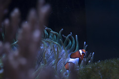 Clown fish (JW.Andrews) Tags: clown fish nemo findingnemo underwater sea coral
