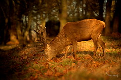Late Autumn light (Symesey) Tags: stag reddeer deer autumn fall