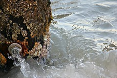 07. Flowing Water (colemama) Tags: ebbandflow flowingwater 52in2016 barnacles ecosystem pilings tide