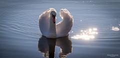 Swanlake (Zaphod Beeblebrox 1970) Tags: swan lake water sun reflection sonne schwan wasser see kemnader stausee witten bochum deutschland vogel bird