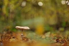 Macrolepiota procera - Lépiote élevée (Ruddy Cors) Tags: macrolepiota lepiota procera lépiote élevée agaricaceae coulemelle parasol mushroom gemeine riesenschirmling grote parasolzwam