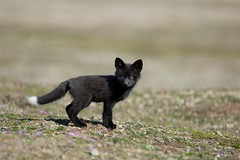 Silver Fox Kit (T0nyJ0yce) Tags: silverfox kit babyanimals pup cub red cute wild baby fox redfox vulpesvulpes animals mammals foxes