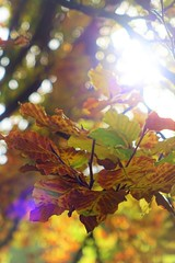 Sun flares and autumn leaves (Matthieu Toulemonde) Tags: autumn tring rx10 sony england trees leaves free picture